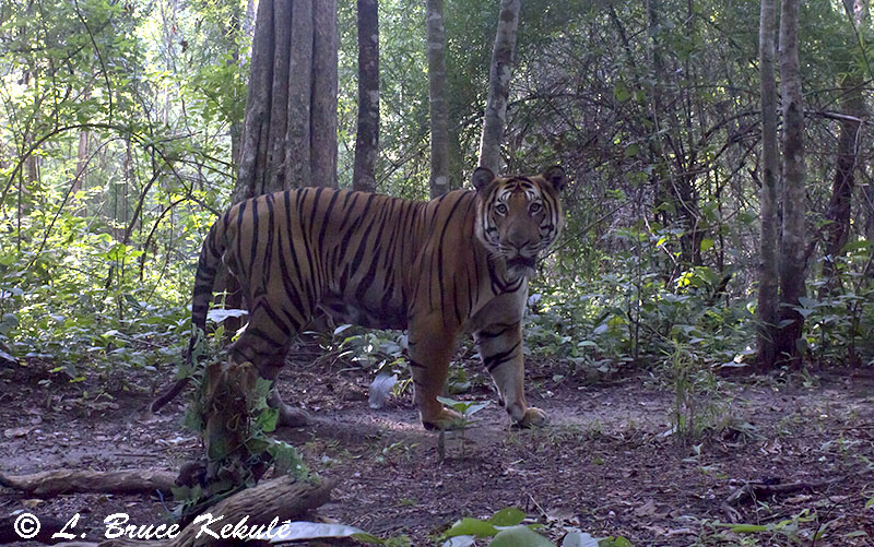 indochinese tiger male - Canon 600D
