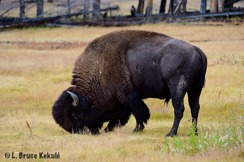 buffalo-bull-in-yellowstone-web