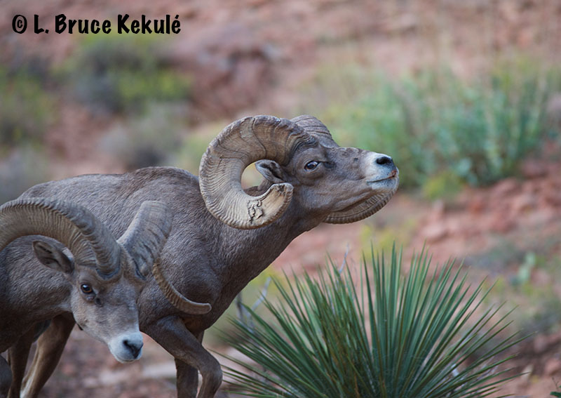 desert-big-horn-rams-web