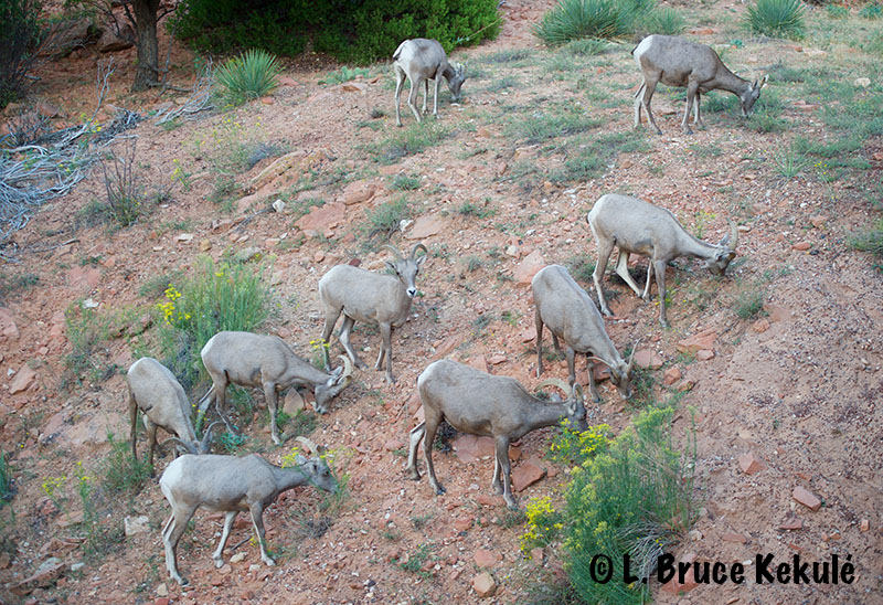 desert-big-horn-sheep-herd-web