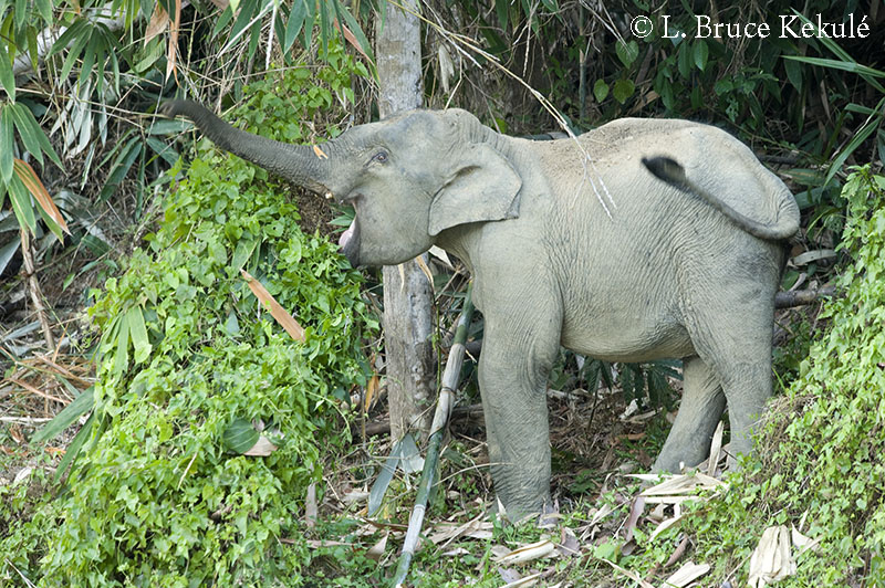 Baby tusker elephant in Klong Saeng Wildlife Sanctuary in Surat Thani, southern Thailand