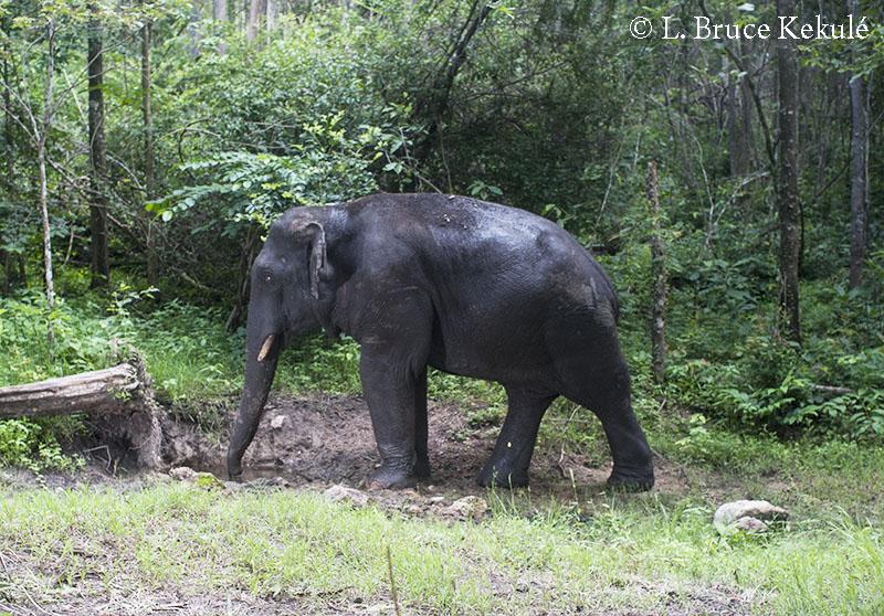 bull-elephant-d700
