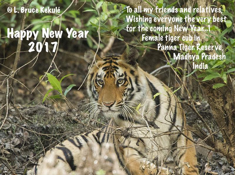 Female tiger cub in Panna Tiger Reserve, M.P. State