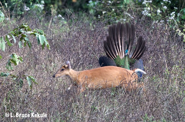 muntjac-and-peafowl