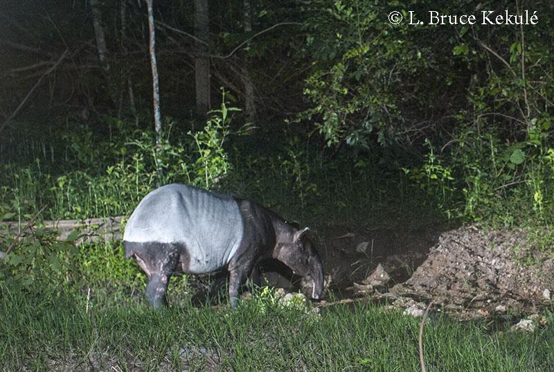 old-tapir-d700