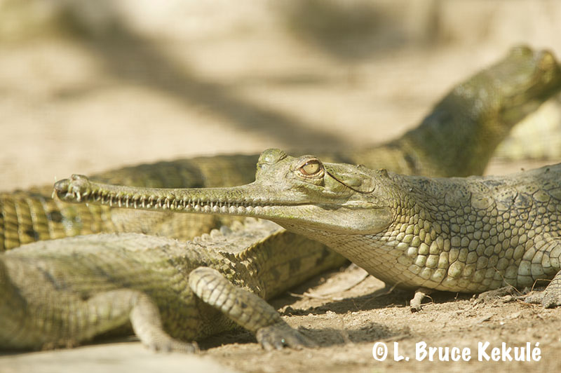 Breeding gharial
