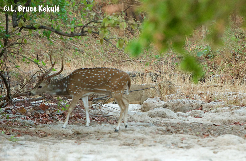 Chital and lioness in Gir web