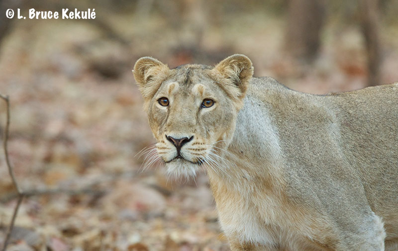 Female lion portrait in Gir web