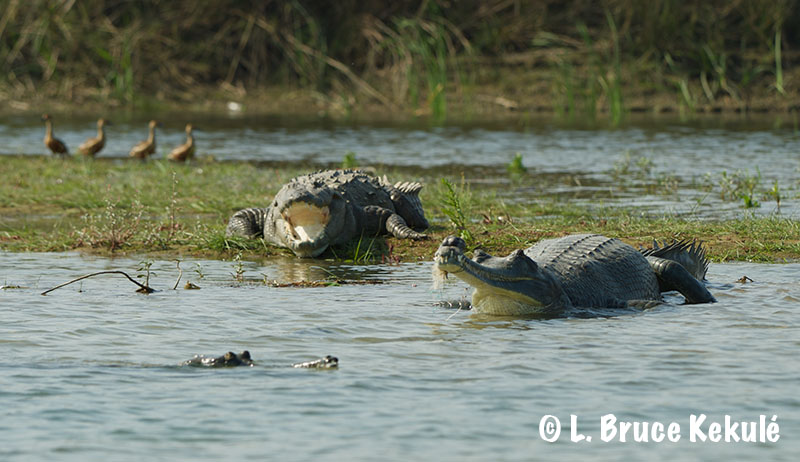 Gharial, mugger and whistling ducks