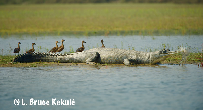 Gharial with fishnet2web