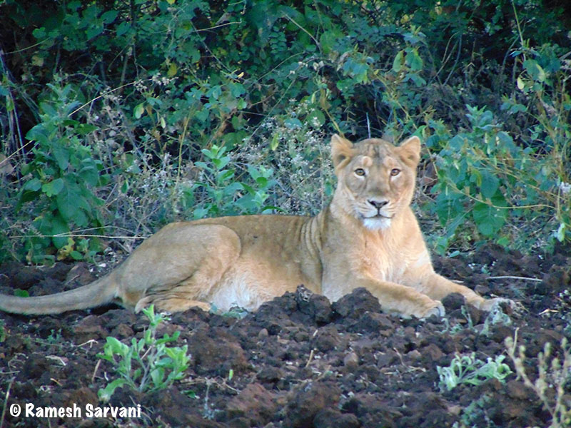 Lioness in Gir web