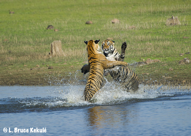 Tiger sparring cubs Tadoba