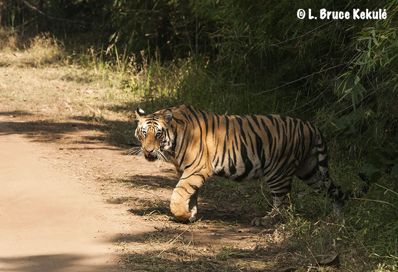 Bandhavgarh 1st tiger