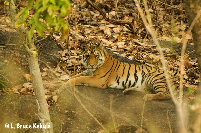 Collarwali cub2 in Pench Tiger Reserve, India Mar.2016