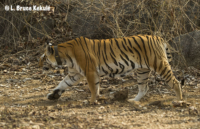 Collarwali in Pench Tiger Reserve, India Mar.2016