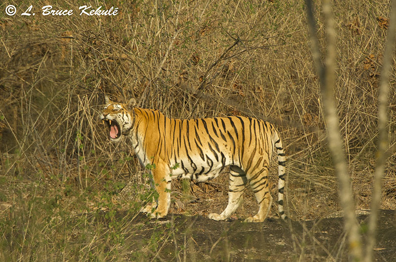 Collarwali2 in Pench Tiger Reserve, India Mar.2016