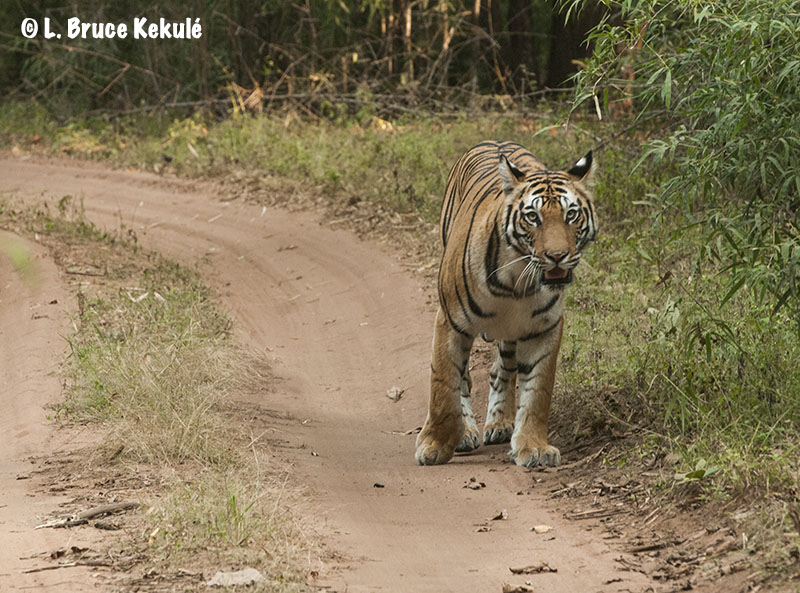'Dotty' in Bandhavgarh