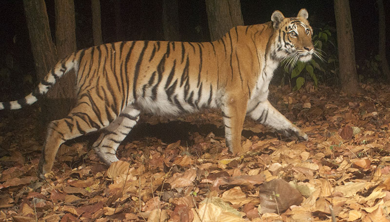 Female tiger in Vanghat Private reserve