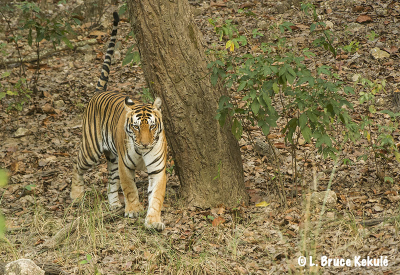 Female tiger in Kanha copy