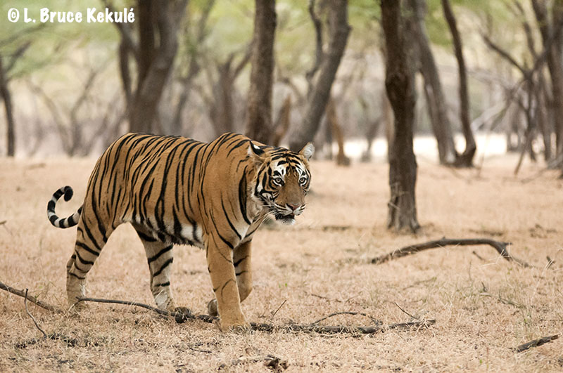 Tiger male3 in Ranthambore National Park - India