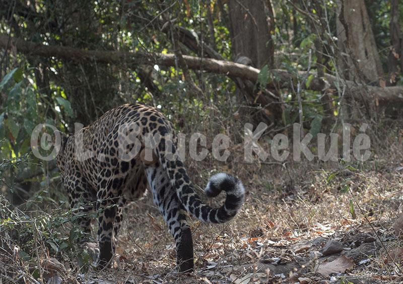 Leopard male HKK-web