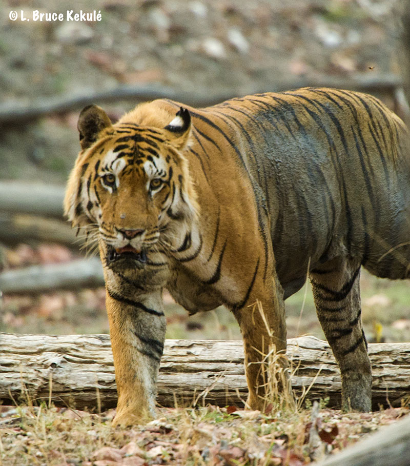 Raiyakassa male tiger in Pench T.R. Mar. 2016 M.P. State, India