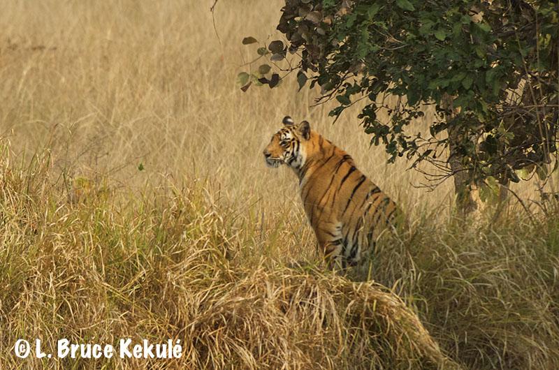 Solo in Bandhavgarh