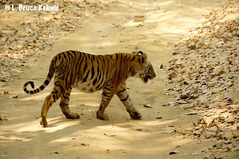 Spotty's cub1 Bandhavgarh