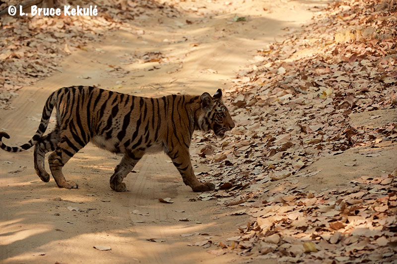 Spotty's cub2 in Bandhavgarh