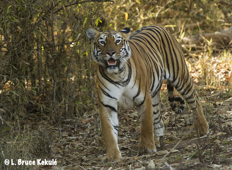 Tadoba 'Maya' tigress
