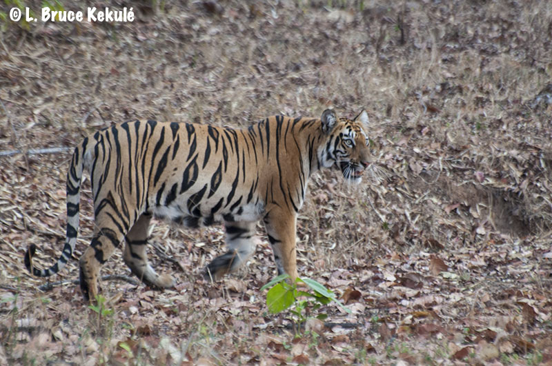 Tadoba cub near the road