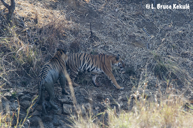 Tadoba tiger breeding pair