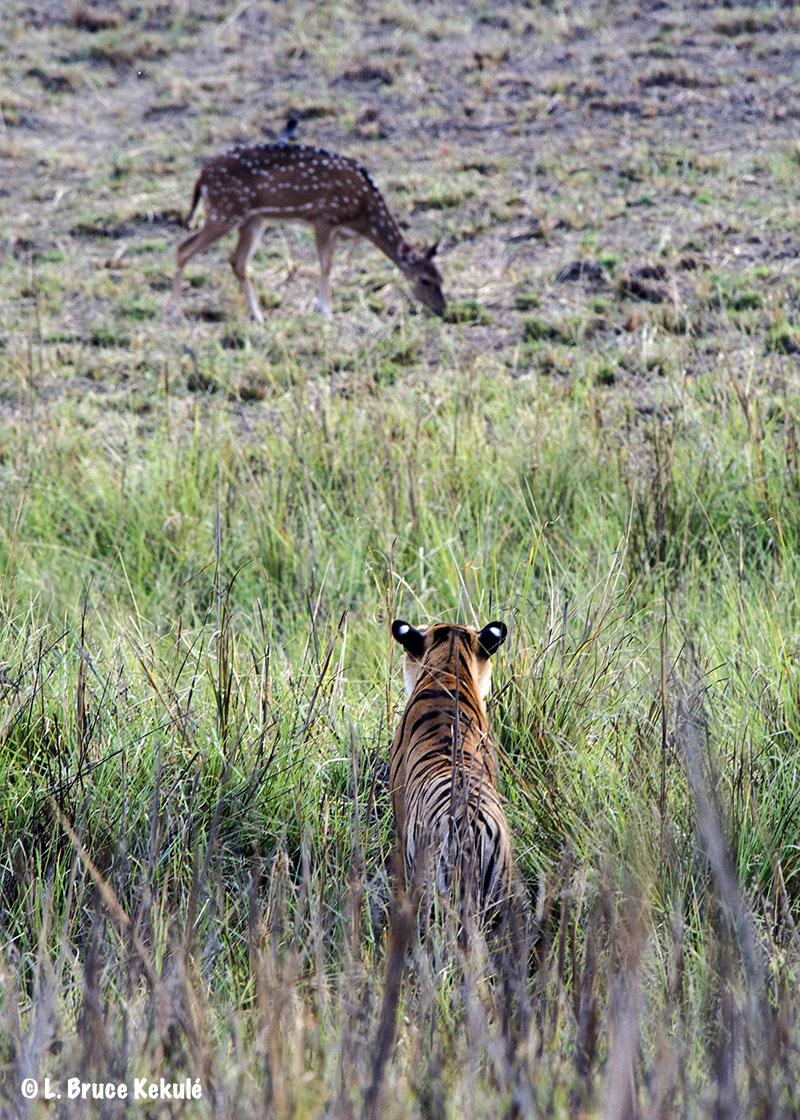 Tadoba tiger cub hunting