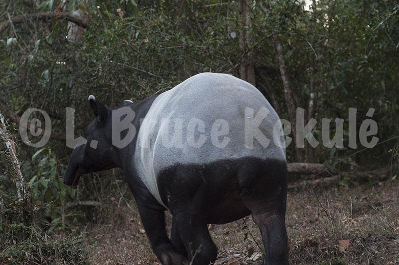 Tapir 1 hotspring HKK