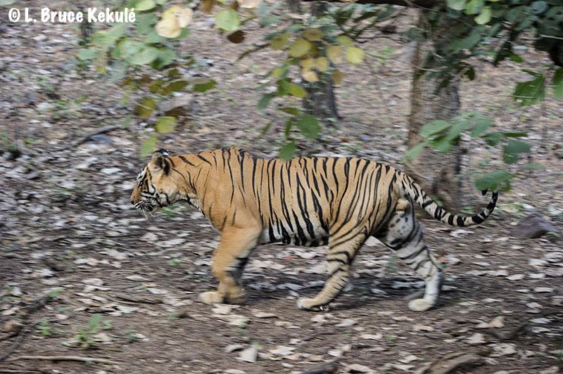 Ustad2 - Ranthambore Tiger Reserve, India