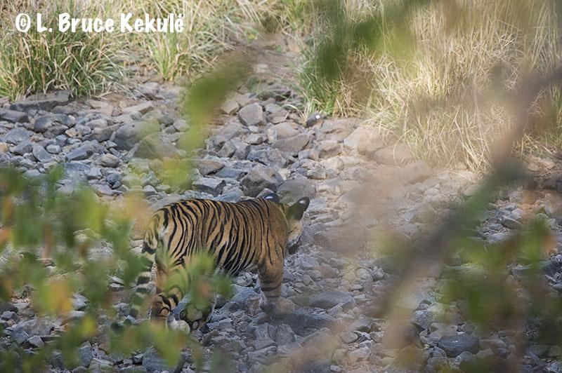 Zalim's cub in Ranthambore