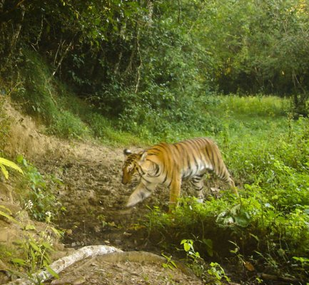 27__600x400_indochinese-tiger