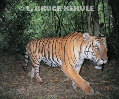 80__500x340_indochinese-tiger-1