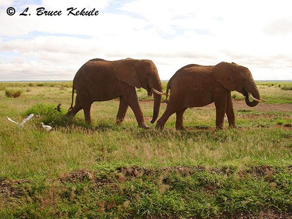 african-elephants-in-amboseli-np