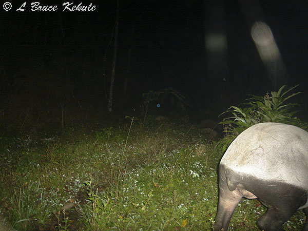 Asian tapir female passing through in Huai Kha Khaeng