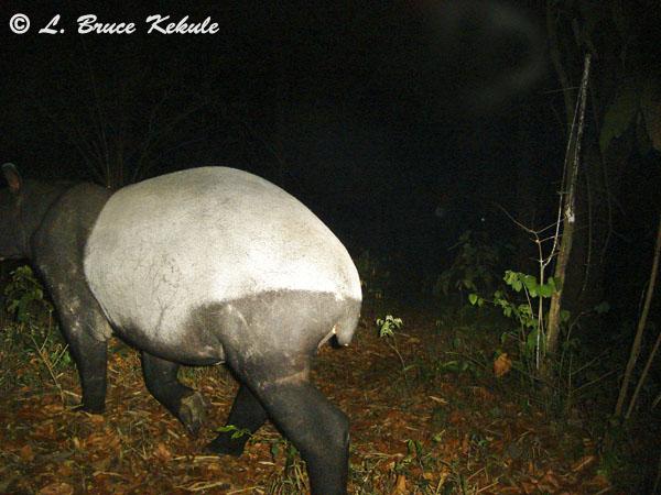 Asian tapir at night