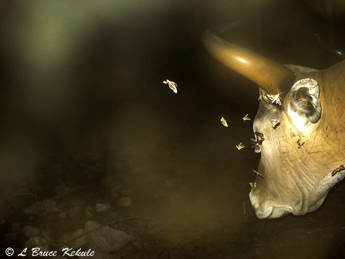 Banteng bull  and night moths in Huai Kha Khaeng Wildlife Sanctuary