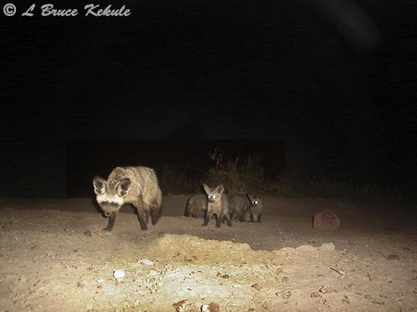 Bat-eared fox in Amboseli