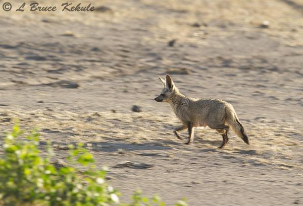 bat-eared-fox-in-amboseli1