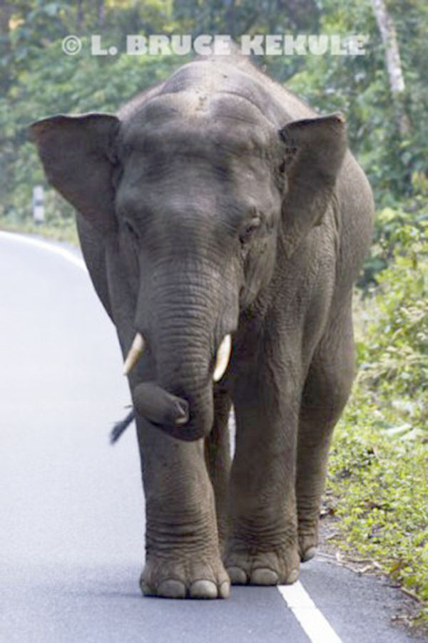 bull-elephant-in-khao-yai