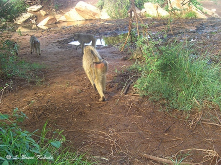 Baboons camera trapped in Kenya 2012