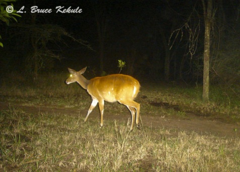 Bushbuck female in Kenya