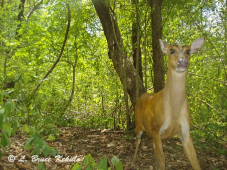 Female muntjac (barking deer) with a W55/Otter 2000