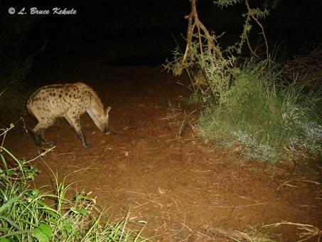 Hyena in Kenya 2012