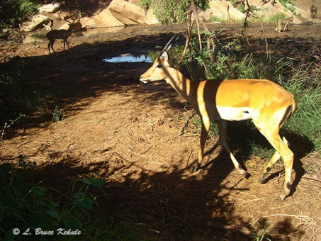 Impala camera trapped in Kenya 2012